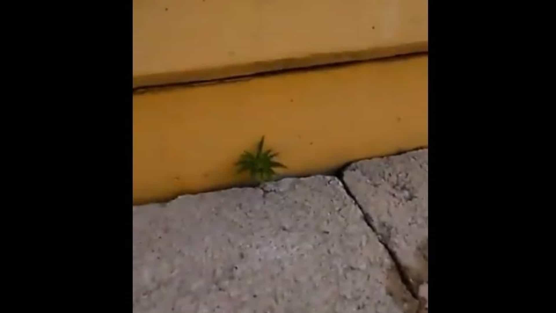 Marijuana nas bancadas do Peñarol. Este vídeo já se tornou viral