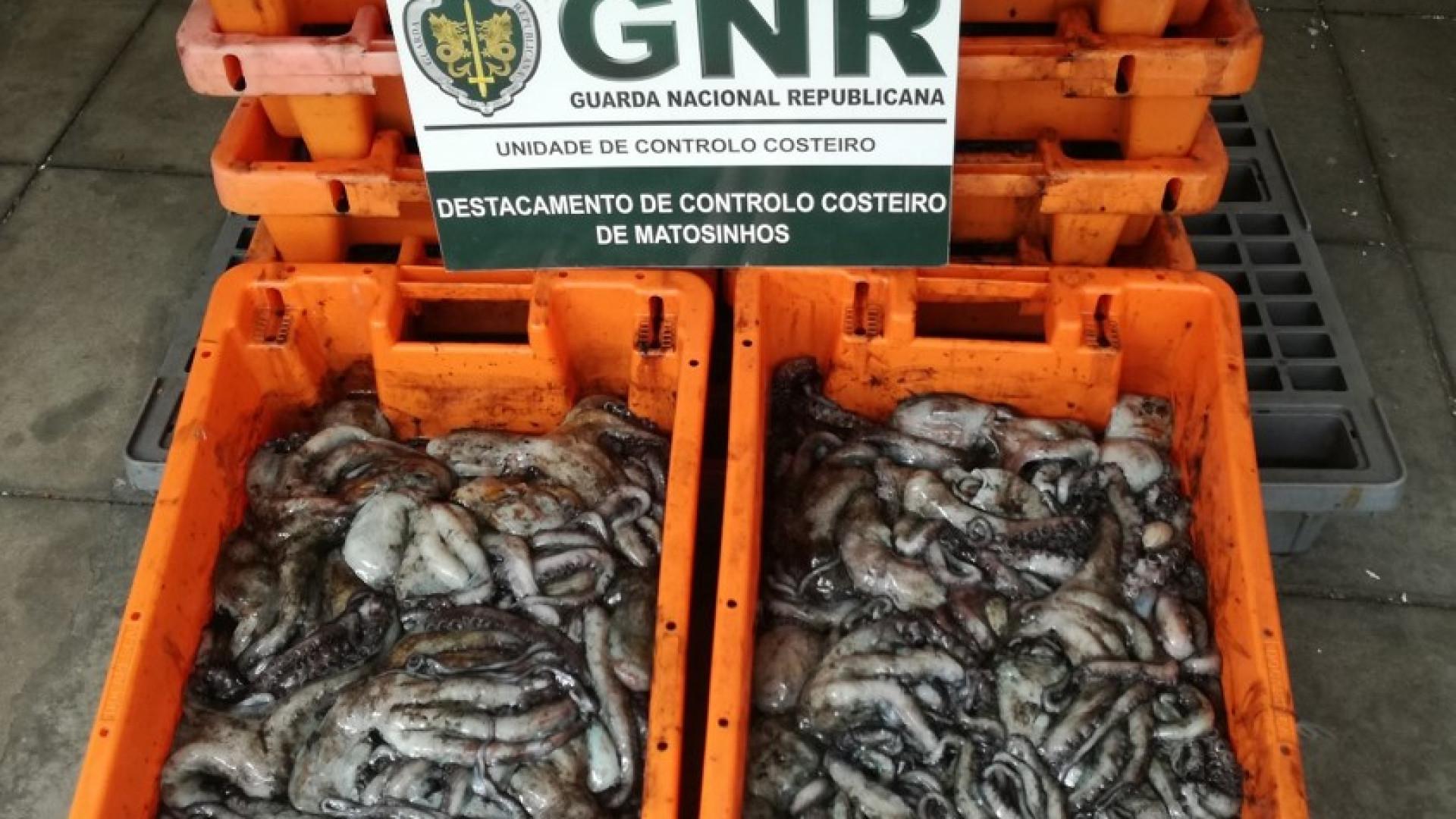 Póvoa do Varzim: Apreendidos 230 quilos de polvo imaturo