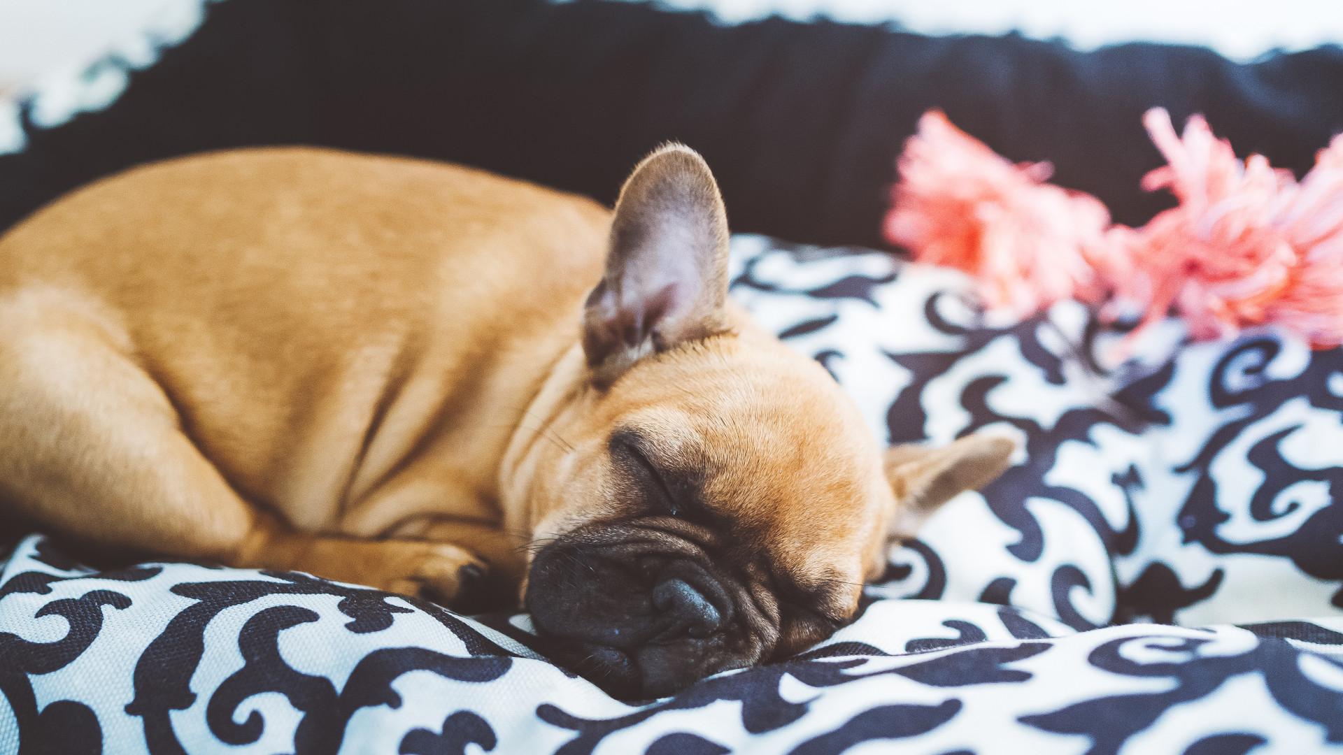 É por isto que os cães dão voltas antes de adormecer (não é o que pensa)