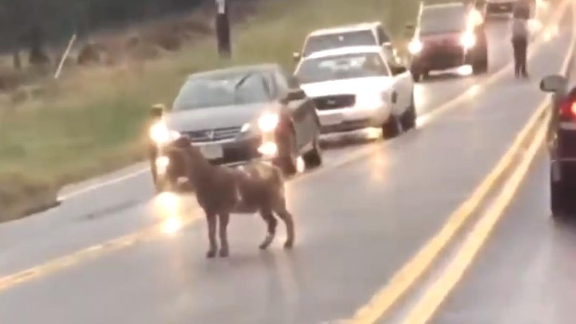 Cabra passeia por estrada e cria confusão no trânsito em Washington
