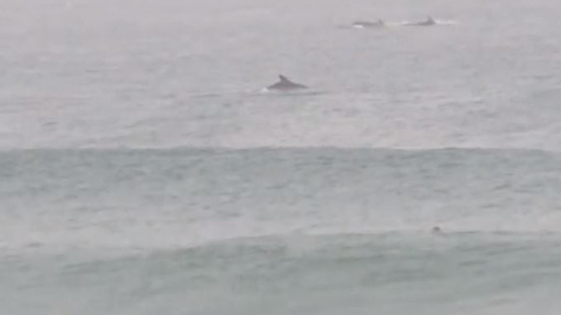 Jovem surfa acompanhado por golfinhos em praia de Cascais