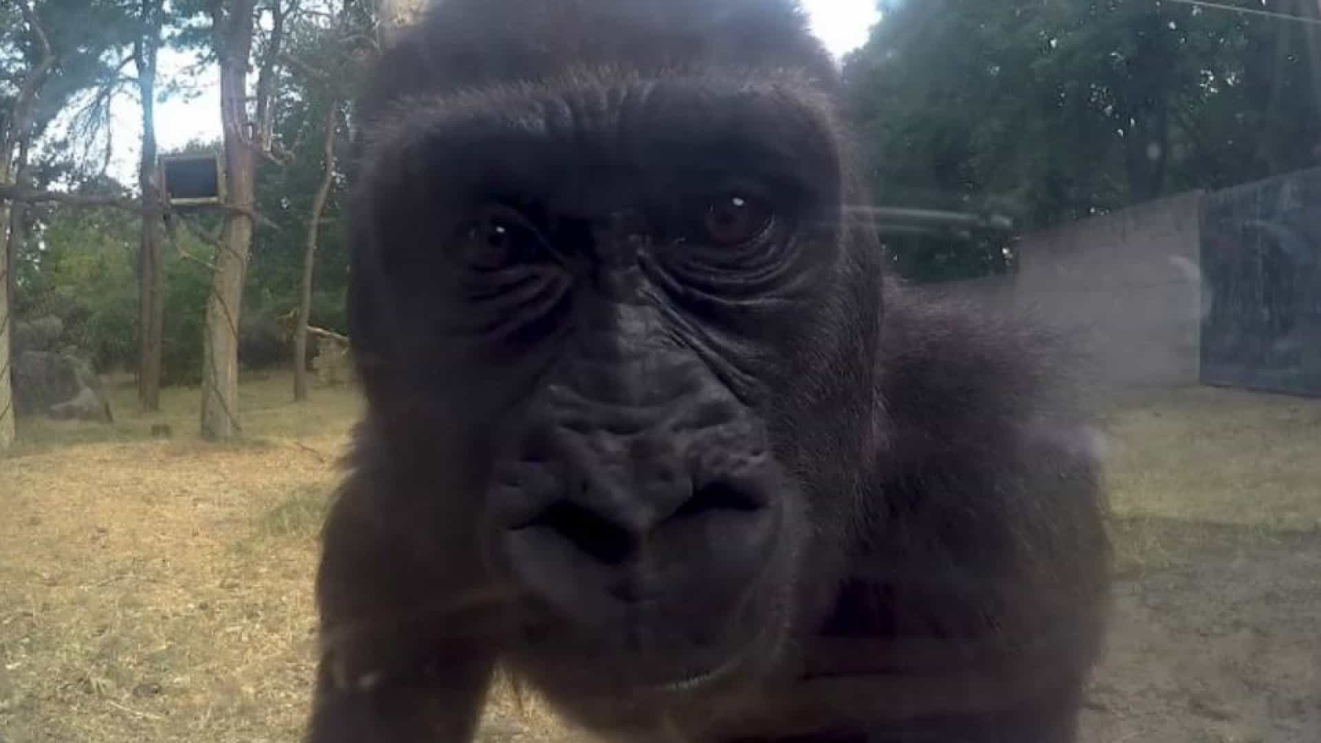Gorilas descobrem câmara e fazem furor na internet