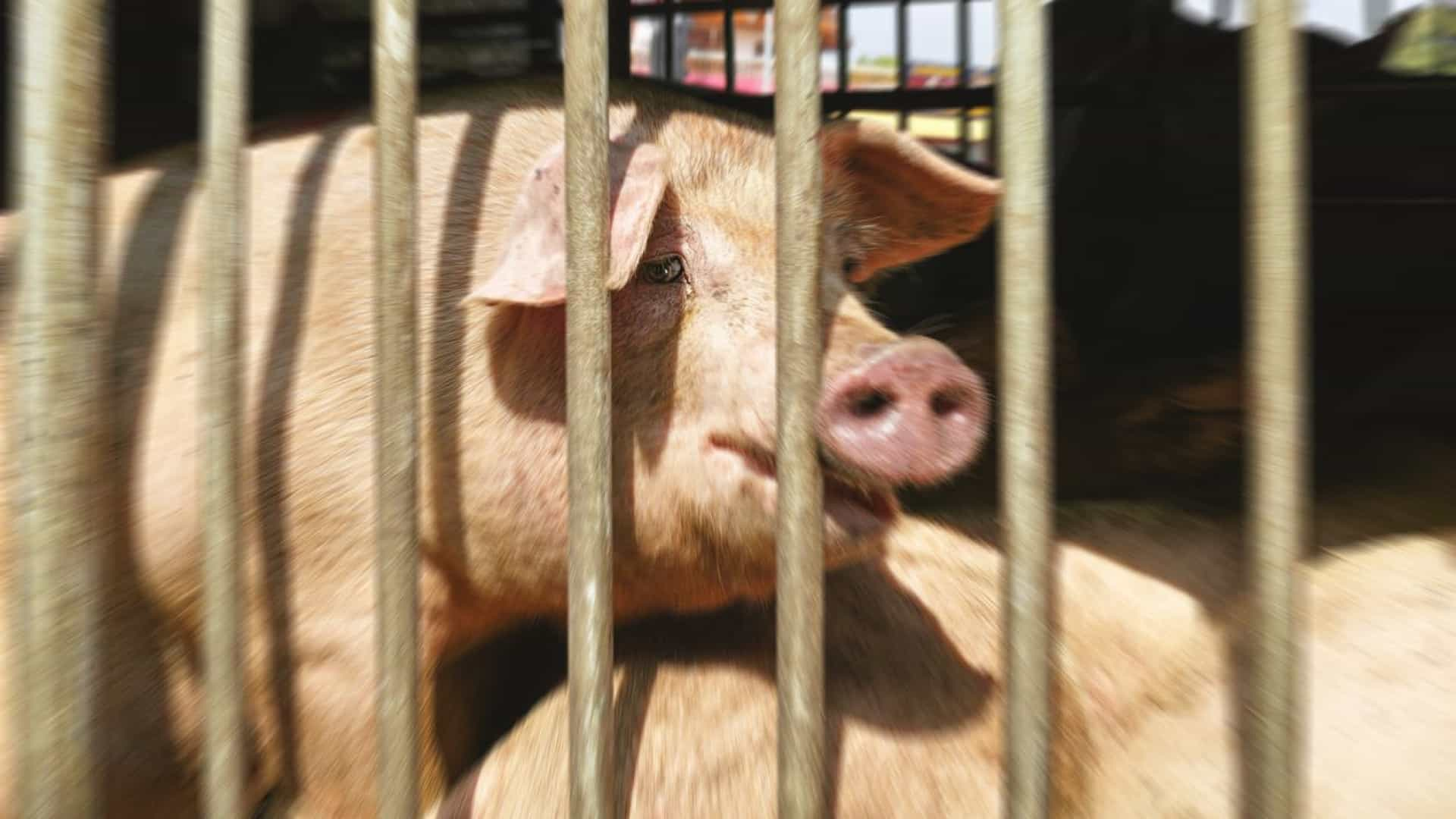 Após polémica com Portugal, Caracas já tem pernis de porco para o Natal