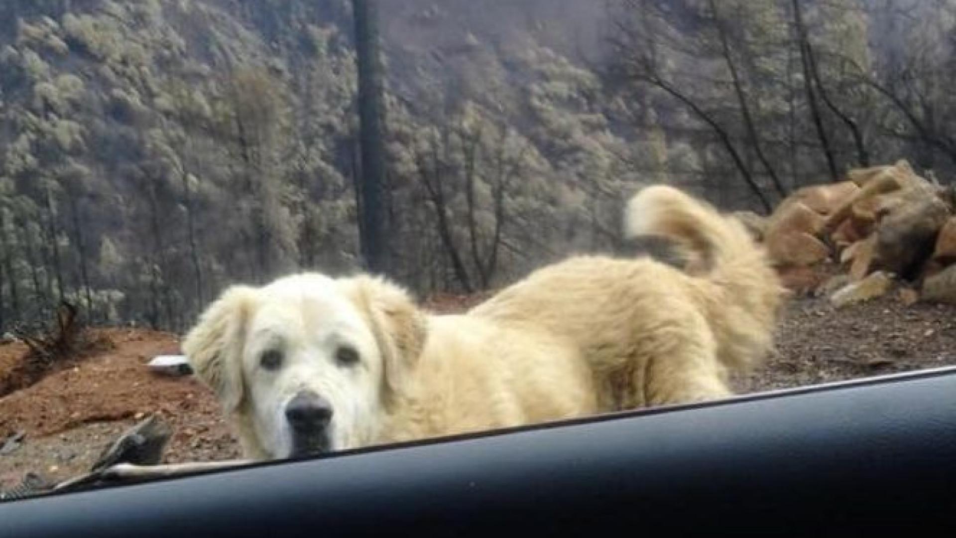 Cão esperou quase um mês pela dona junto a casa queimada na Califórnia