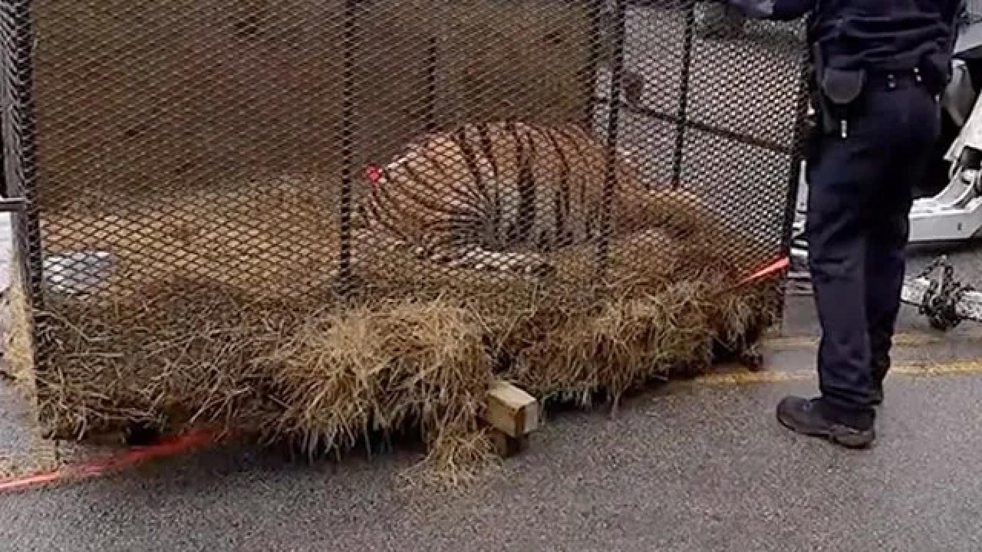 Foram para casa abandonada fumar erva. No interior encontraram um tigre