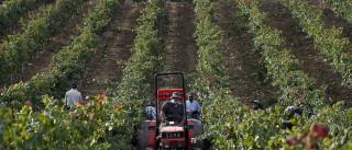Cooperativas vitivinícolas são menos, mas mais competitivas