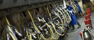 Produtores de leite têm novos apoios a partir de quarta-feira