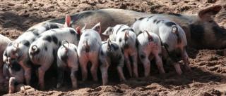 Suinicultores vão castrar porcos para diferenciar carne