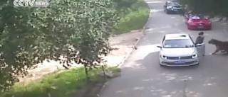 Tigre ataca mulher até à morte em parque selvagem