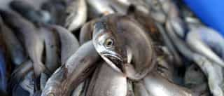 Pescadores alertam para escassez de linguados e enguias