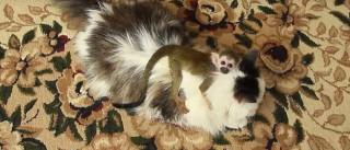 Gato adota macaco bebé depois de este ter sido rejeitado pela mãe