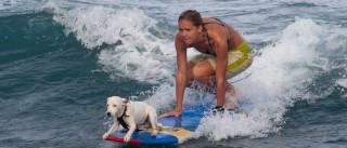 Cães fazem-se às ondas num campeonato de surf a quatro patas