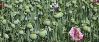 Capital mundial do ópio aumentou a produção. E muito
