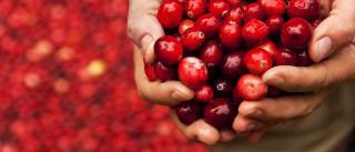 Arando vermelho. Uma pequena fruta com grandes benefícios