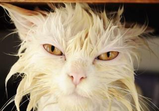 No dia Mundial do Gato, saiba por que este animal não gosta de banhos