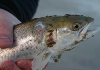 O salmão está a ficar mais caro e a culpa é de... um piolho