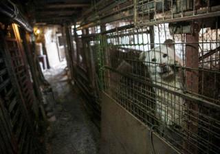 Quase 50 cães salvos de quinta onde seriam mortos para consumo humano