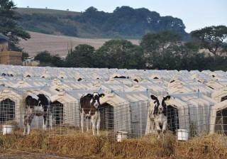 As condições em que estas vacas são criadas deixaram muitos em choque