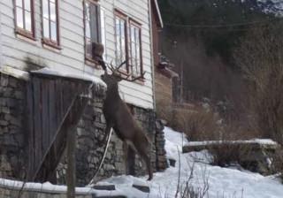 Veado selvagem visita duas vezes por dia idosa que vive sozinha