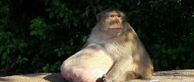 Macaco com peso a mais integra campo de treinos para animais obesos