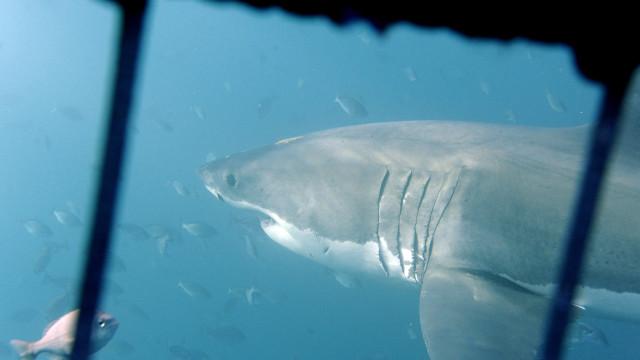 Genoma do tubarão branco revela razões para resistência a doenças