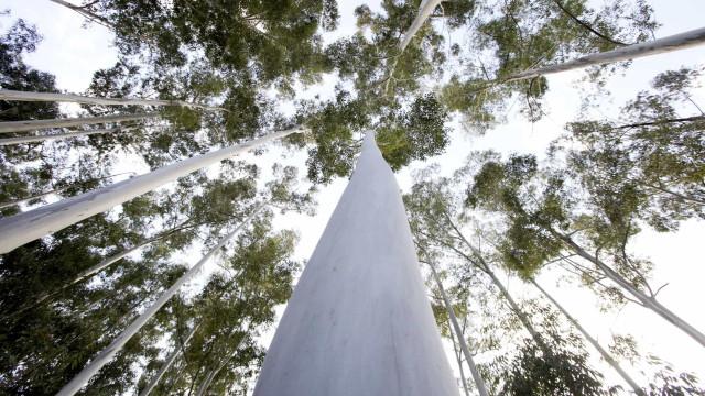 Governo limita expansão de eucalipto e só permite transferências de áreas