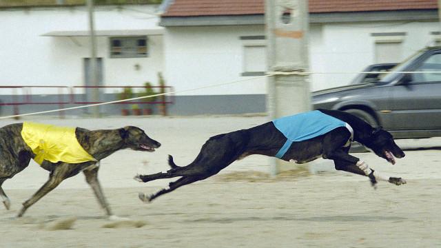 Sociedade Protetora dos Animais de Macau quer realojar 533 galgos