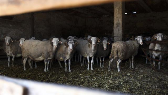 Câmara paga seis euros por cada ovino da raça Serra da Estrela