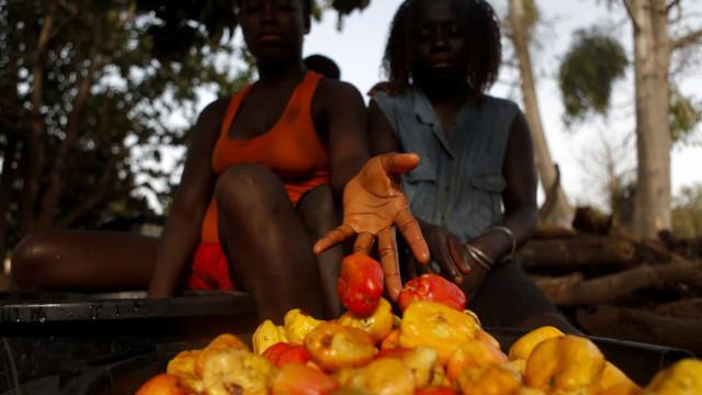 Agricultores guineenses ansiosos porque ninguém lhes compra o caju