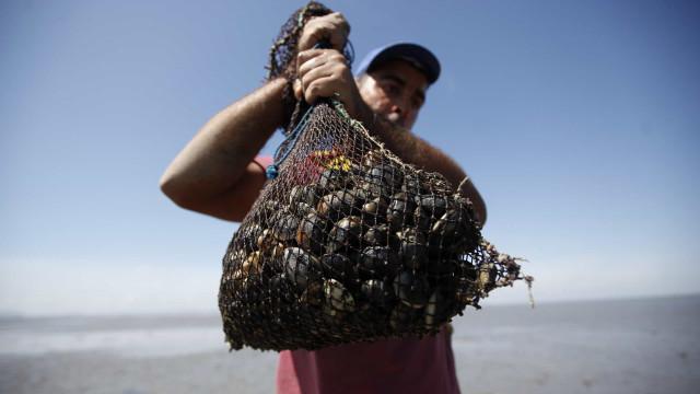 Polícia Marítima desmantela armazém ilegal e apanha 630 quilos de amêijoa japónica