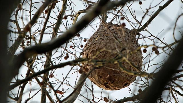 Marco de Canaveses destruiu 364 ninhos de vespa asiática desde maio