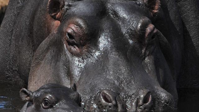 Moçambique retoma caça desportiva de hipopótamo