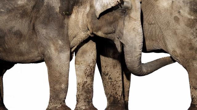 Elefantes invadem e destroem lavras na província de Lunda Norte