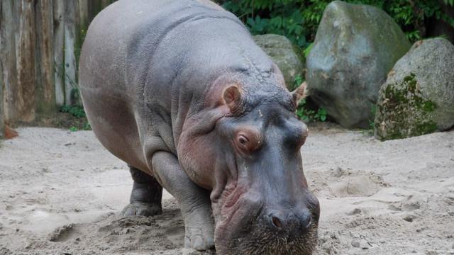 Pelo menos 100 hipopótamos mortos no Parque Nacional de Bwabwata