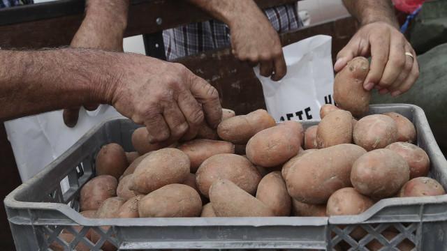 Produção de batata em risco de ser afetada pela traça da Guatemala
