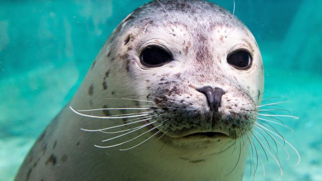 Angola volta a permitir captura de focas no sul