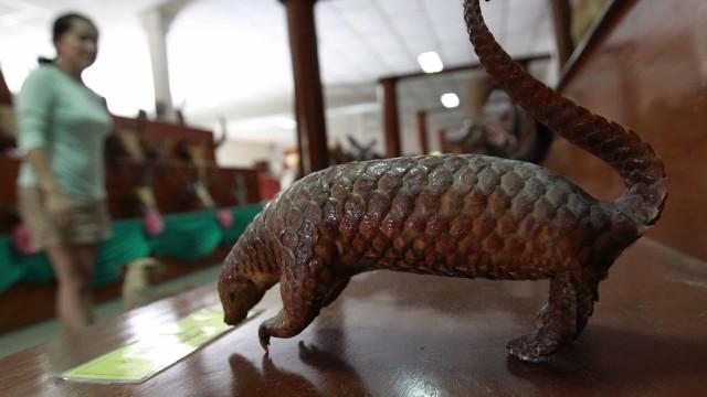 Honk Kong efetua apreensão recorde de escamas de pangolim