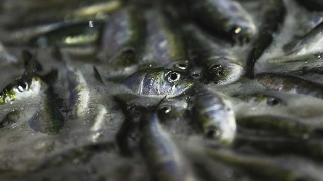 Ministra afasta cenário de proibição de pesca da sardinha durante 15 anos