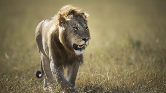 Coutadas moçambicanas de Marromeu recebem 24 leões