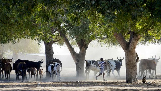Ladrões de gado bovino envolvidos em tiroteio com polícia na Guiné-Bissau