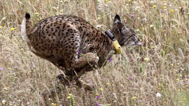 Fémea de lince-ibérico Opala encontrada morta no Vale do Guadiana