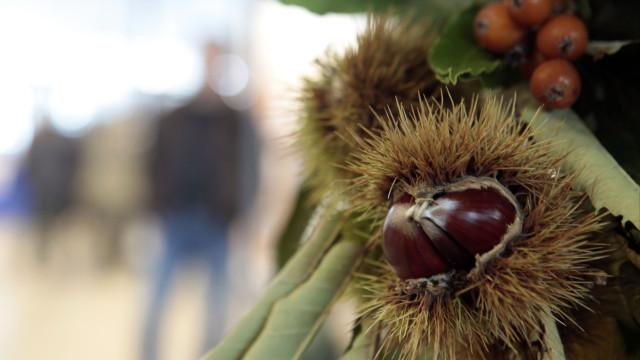 """Produtores de castanha falam em """"calamidade"""" e pedem ajuda ao Governo"""