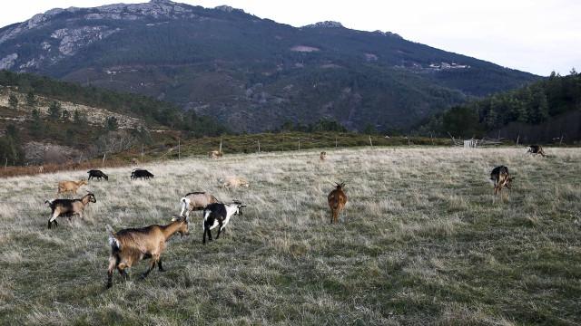 Cabras sapadoras limparam 12 toneladas de resíduos florestais em 3 meses