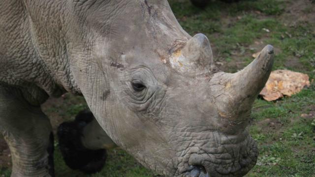 Detido responsável por matança de elefantes e rinocerontes em Moçambique