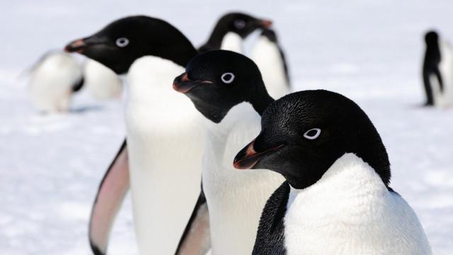 Antártida: WWF quer criar área protegida após morte em massa de pinguins