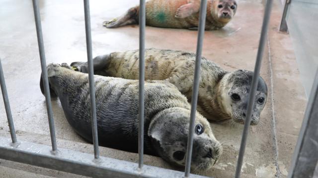 Angola entra na exportação de focas vivas para zoos