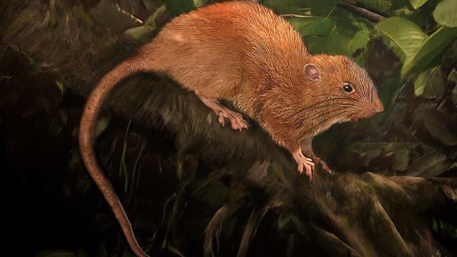 Espécie de rato gigante identificada nas Ilhas Salomão