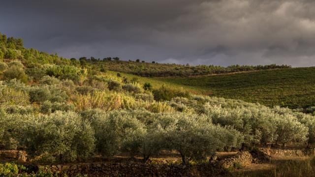 PCP quer proteção europeia para olival tradicional transmontano