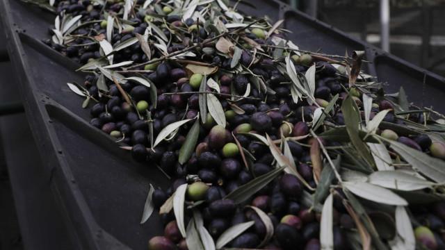 Produção de azeitona para azeite deve registar quebra de 20%