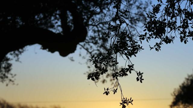 Sobreiro português nomeado para Árvore Europeia do Ano